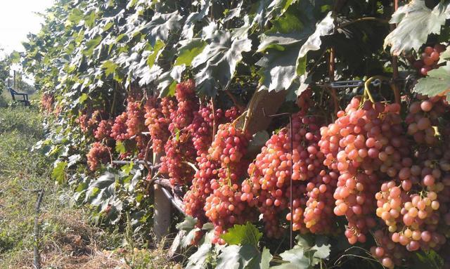 Описание сорта винограда Кишмиш Сияющий, характеристики, отзывы