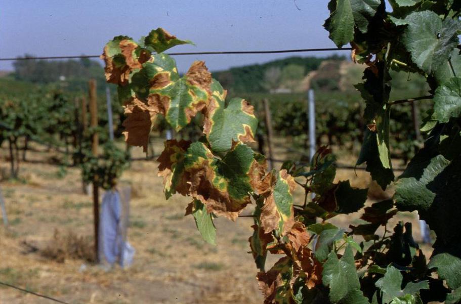 Заболевший виноград