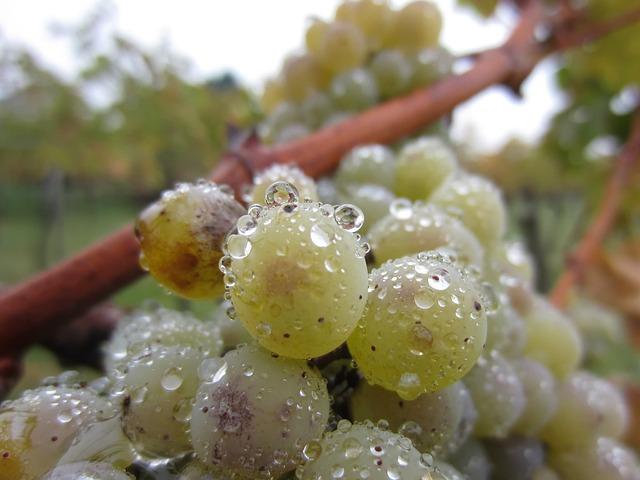 Причины заболеваний винограда