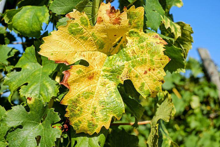 Пожелтение листьев