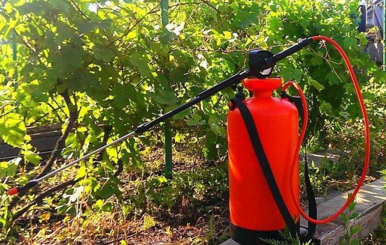Как правильно обработать виноград