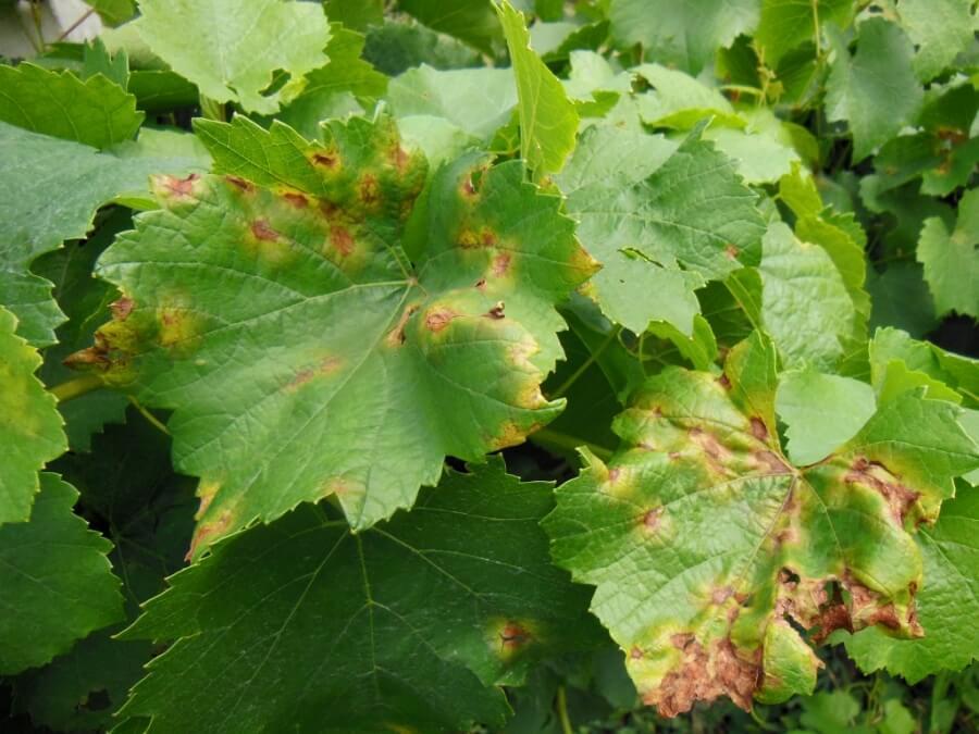 Болезнь на винограде