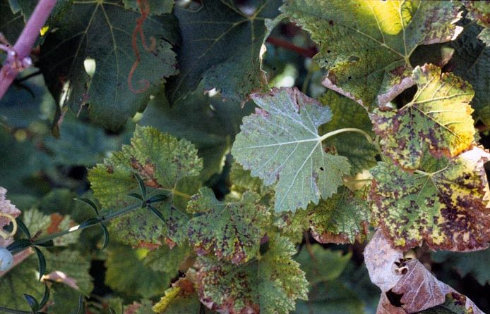 Болезнь винограда
