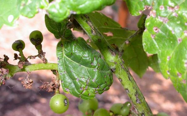 виноградный антракноз