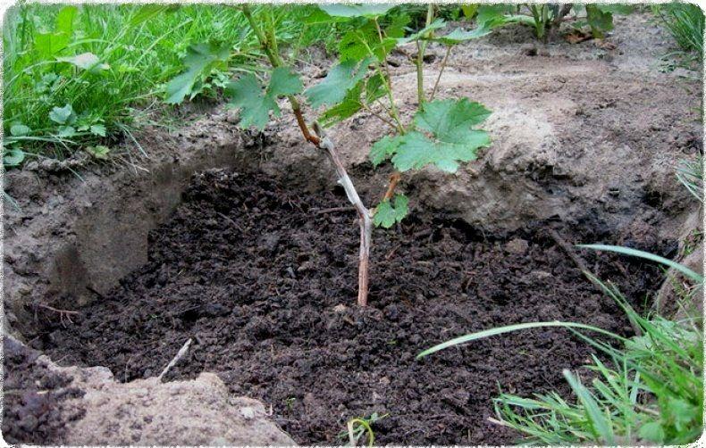 Когда сажают виноград осенью или весной